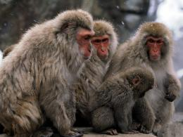 Free Japanese Snow Monkey Wallpaper 1332