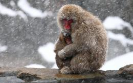 monkey nature winter cute mother snow snowflake snowing wallpaper 1558