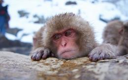 monkey snow face humor winter japan wallpaper background 186