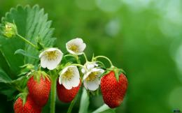 Download wallpaper Strawberry bush: 379