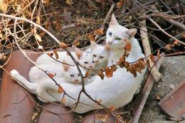turkish angora cat with her kittens download beautiful hd wallpapers 703