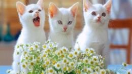 white kittens wallpaper wallpaper Cute Cats And Kittens Wallpapers 1431