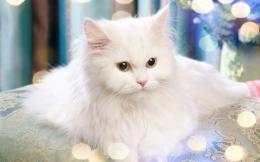 Turkish Van cat desktop wallpaper for white HD 1251