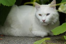 turkish angora cats free download lovely hd wallpapers of turkish 1213