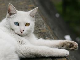 Turkish Angora 127