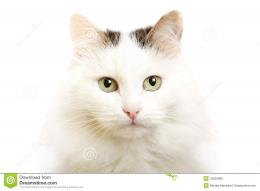 Download Atpics Beautiful Purebred Kitten And Staring HD Wallpaper 1239