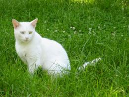 Turkish Van Cat HD Wallpapers 1266