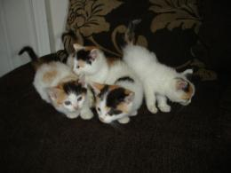 turkish van kittens beautiful turkish van cat amazing wide turkish van 946