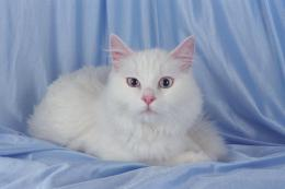 Turkish Angora Cat 1183