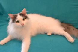 turkish van cat new turkish van cat top hd new 1339