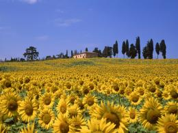 Sunflower Valley, Tuscany, Italy 1308