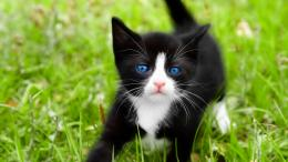 little tuxedo cat hd wallpaper download tuxedo cat images free 586