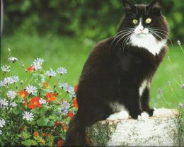 amazing tuxedo cat high definition wallpaper download tuxedo cat 1115
