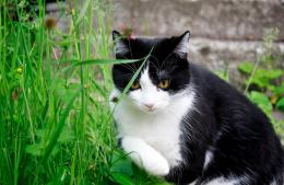 beautiful hd wallpaper of tuxedo cat sitting with natural background 399