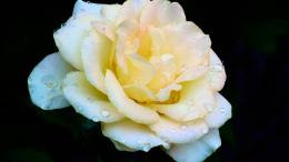 White chinese rose flower hd wallpapers 1890