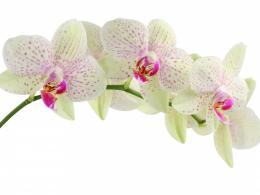 White Orchids Flowers wallpaperWhite Orchids Flowers 361