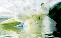 home flowers white tiger lily flowers hd wallpaper 775