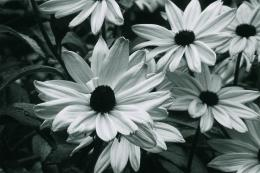 Flowers Wallpapers Black and WhiteHD Wallpapers 1793