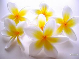 white flower wallpapers 1793