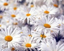 Beautiful White Flowers 633