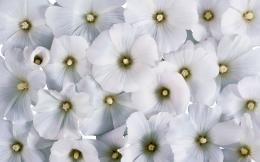 nature white flowers backgrounds wallpapers jpg 227