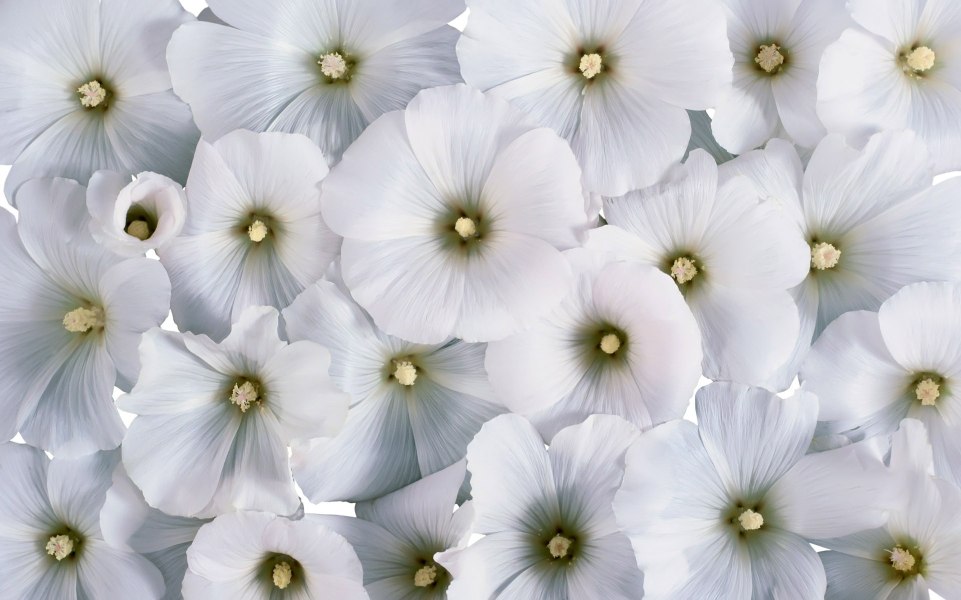 Flowers 42 Nature White Flowers Backgrounds Wallpapers Jpg 227