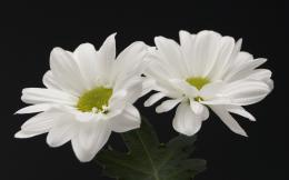 Nature Flowers White flowers 015275jpg 650