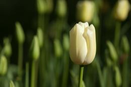 White Tulip 25209 Hd Wallpapers 1264