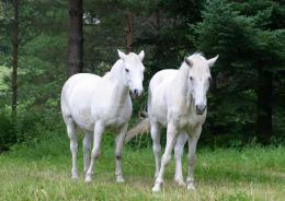 photo of white horses 965
