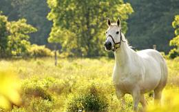wonderful white horse wallpaper 22478 1695