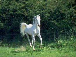 Download Arabian Horses wallpaper, \'arabian white horse\' 728