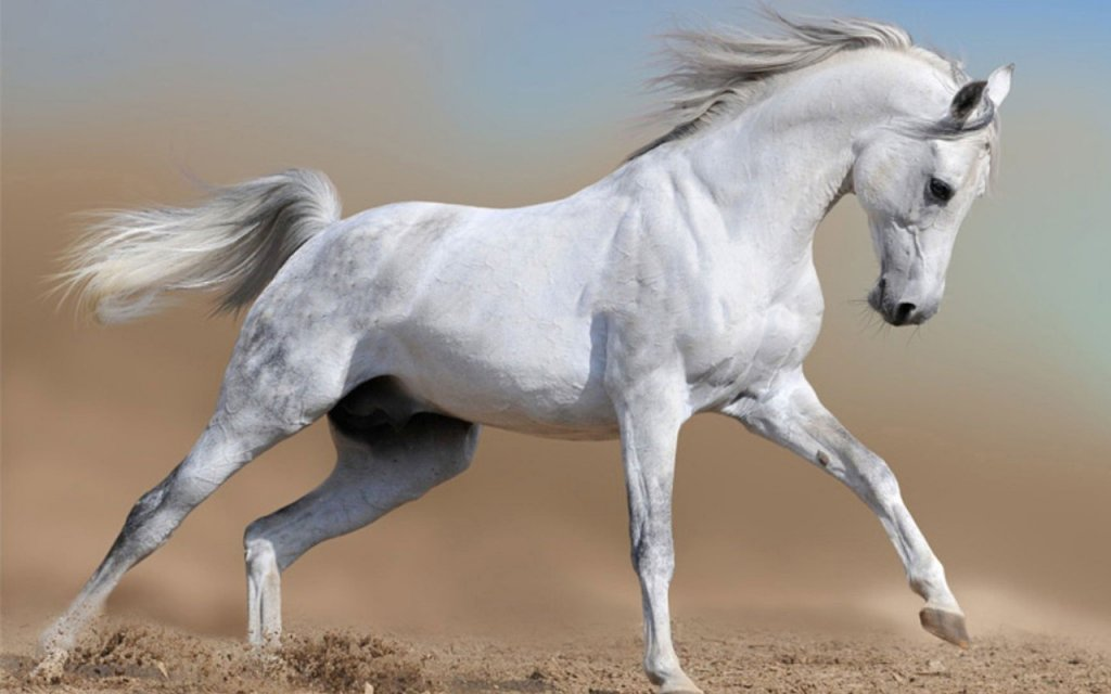 32 White Horse Top Wallpapers New Wallpapers Arabian Horses