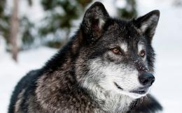 Gray Wolf Wallpapers Pictures Photos Images 1984