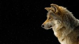 Wolf HD Wallpapers 1420