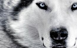 Wolf Latest HD Wallpapers 1056