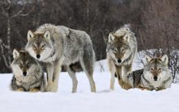 Gray Wolf Cold Stare HD Wallpapers 801