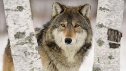 Tundra Wolf HD Wallpapers 1341