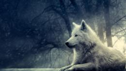 Wolf HD Wallpapers 1090