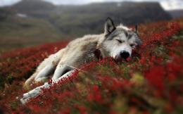 Wolf HD Wallpapers 902