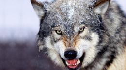 wolf hd wallpapers free download lovely desktop background hd 1307