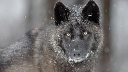 Tagged with: Black Wolf in Snow Black Wolf In Snow wallpapers 726