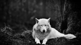 White Wolf Wolves HD Wallpaper #2678 215