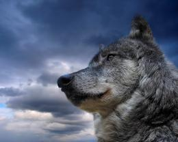 Gray Wolf HD Wallpaper #2693 1652