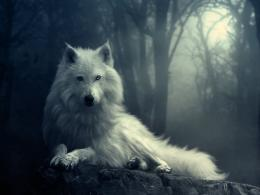 Wolf HD Wallpapers 540