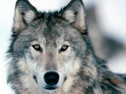 Gray Wolf HD Wallpapers 715