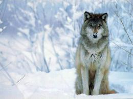 File Name : download wolf hd wallpaper widescreen 493