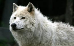 white wolf beautiful pictures top high definition wallpapers of wolf 644