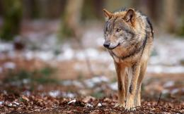 Brown Wolf HD Wallpapers 1330