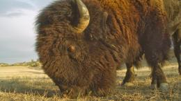 Desktop HD Wallpapers Free Downloads: American Bison HD Wallpapers 1650