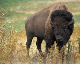 Desktop HD Wallpapers Free Downloads: American Bison HD Wallpapers 736